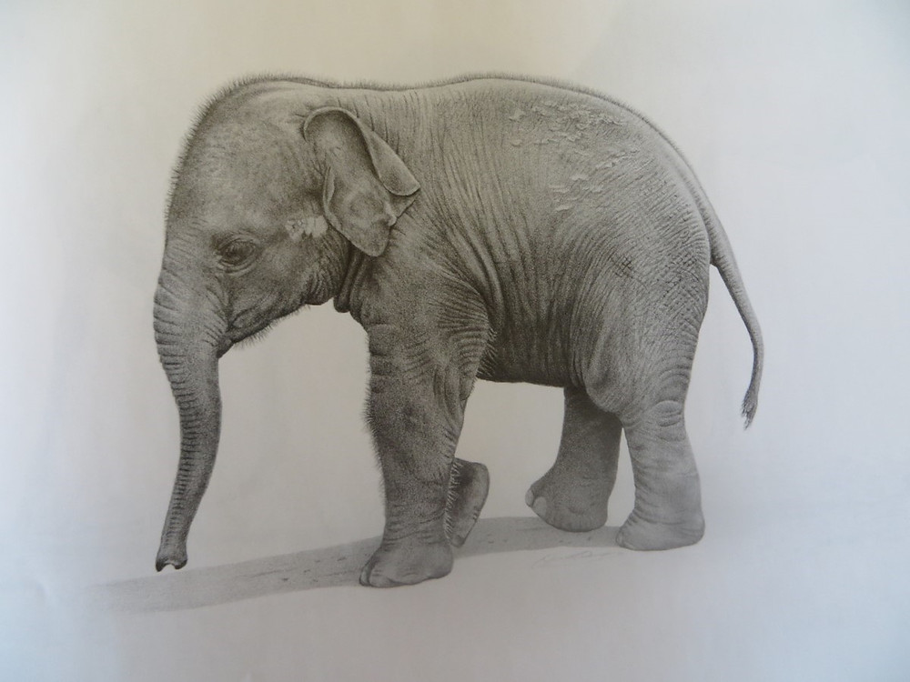 Drawing of a young elephant walking to the left