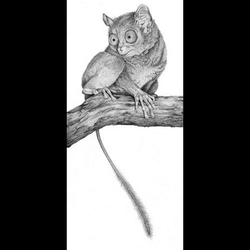 Madagasgan primate, the Spectrail Tarsier, sitting on a branch
