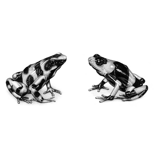 Two drawings of individual poison arrow frogs, one sat looking left and one sat looking right