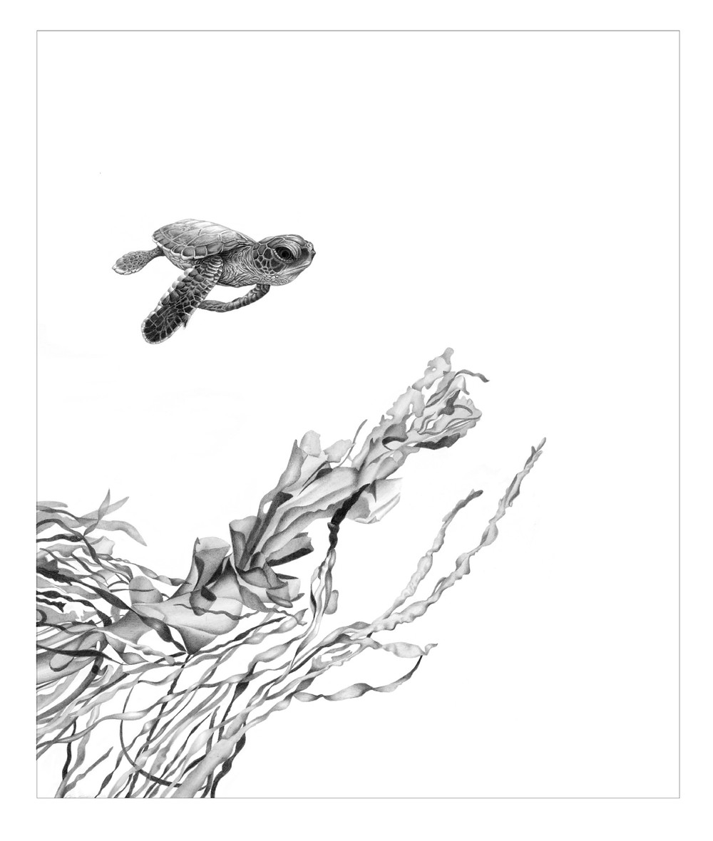 Pencil drawing of a turtle hatchling swimming through the surf