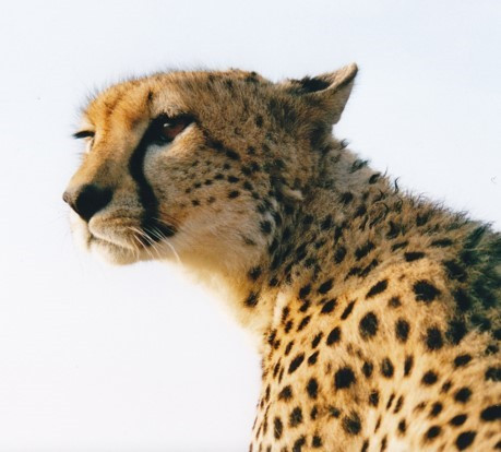 Kike the cheetah looking attentively around for prey