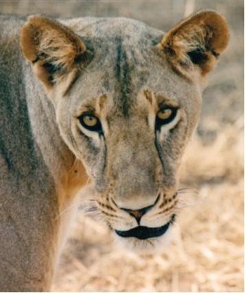 Lioness, Kamuniak, from Samburu reserve