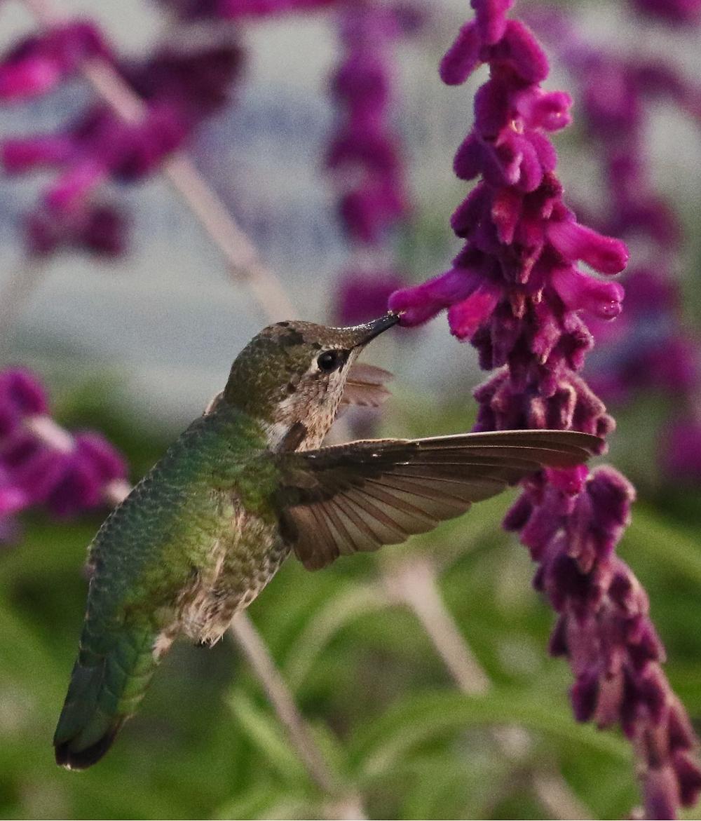 An Anna's Hummingbird feeding from a flower.