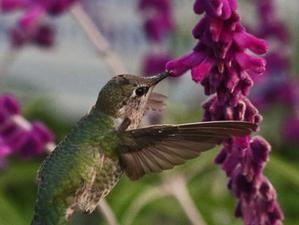 To photograph the hummingbird...