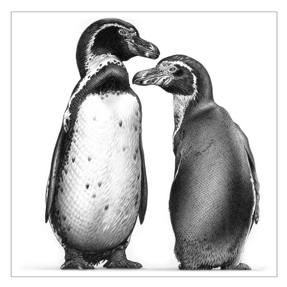 Pencil drawing of two penguins front and back
