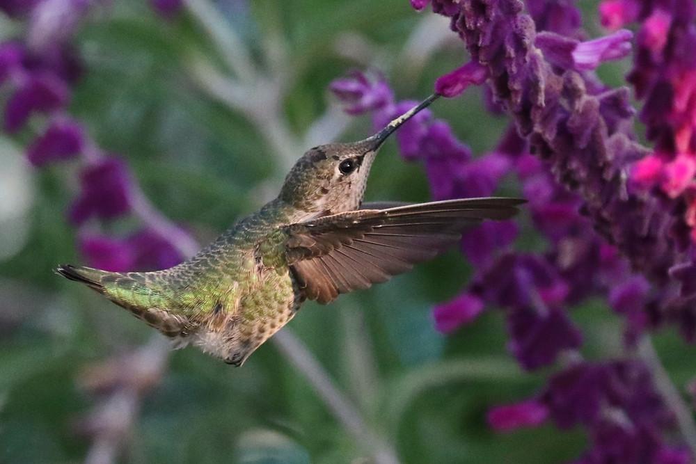 Anna's Hummingbird feeding from a purple flower