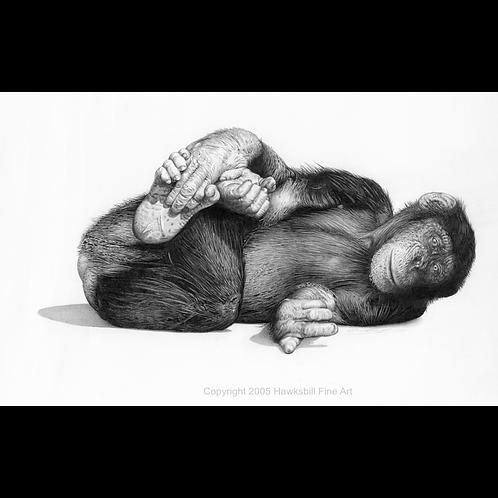 Famous Turkish Chimpanzee Carli, lying on his side