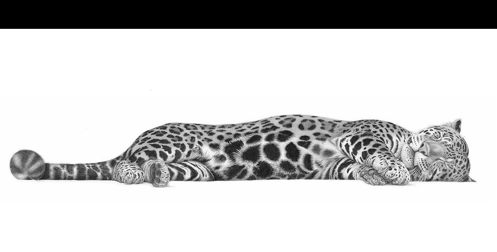 'Manyana', sleeping Jaguar