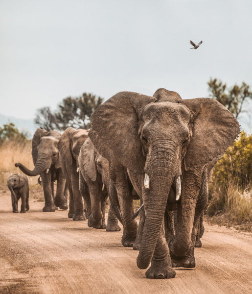 Family of elephants walking down a road