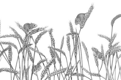 Harvest mice climbing up wheat shalfts