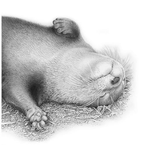 Portrait of a young otter resting on it's back on the ground