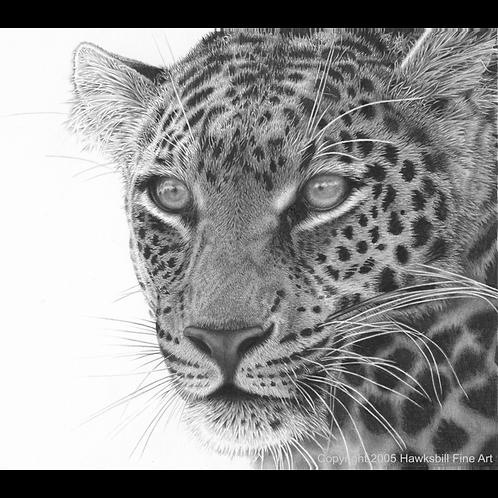 Masaai leopard close up head portrait