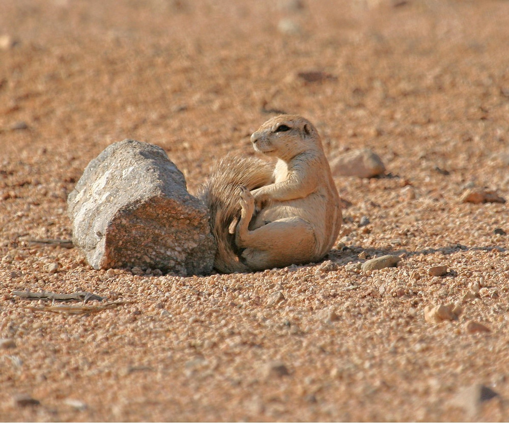 African Squirrel sitting behind a small rock