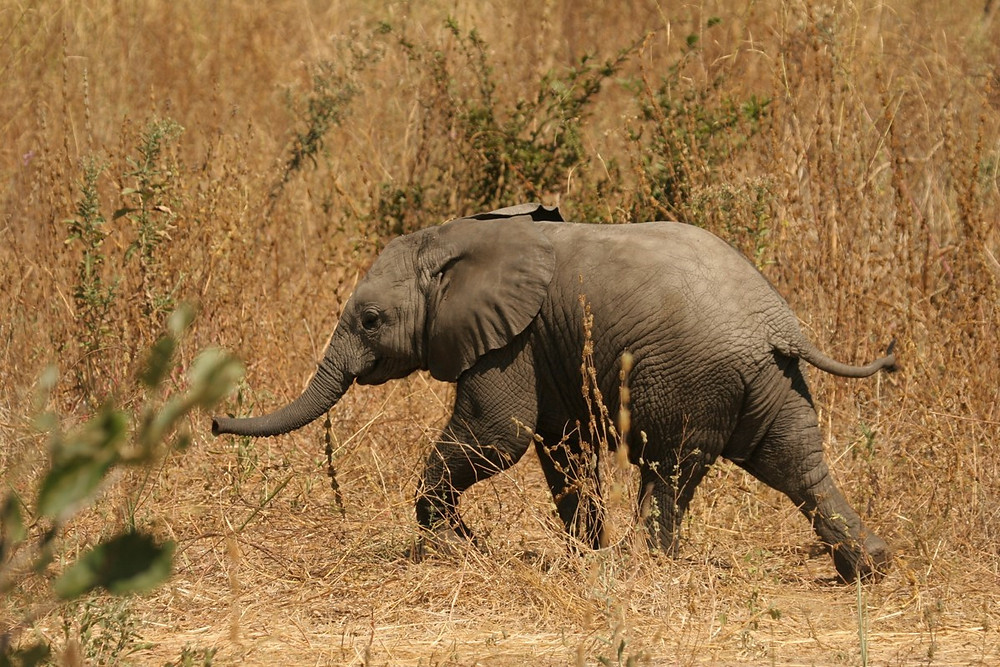 Young elephant striding through the long grass
