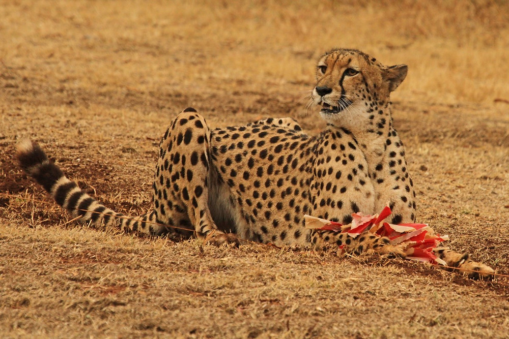 A cheetah sitting with the lure that it's just caught