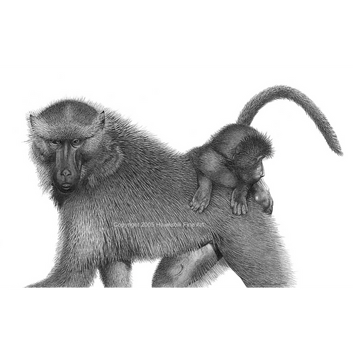 Adult Baboon carrying it's baby on it's back