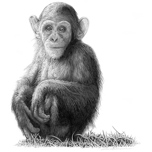 Young female chimp sitting and looking to her right