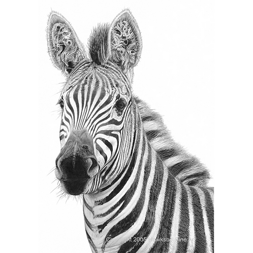 Head portrait of an old zebra with curly hair growing in his ears