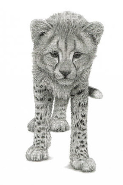 Cheetah Cub standing looking directlt at the viewer