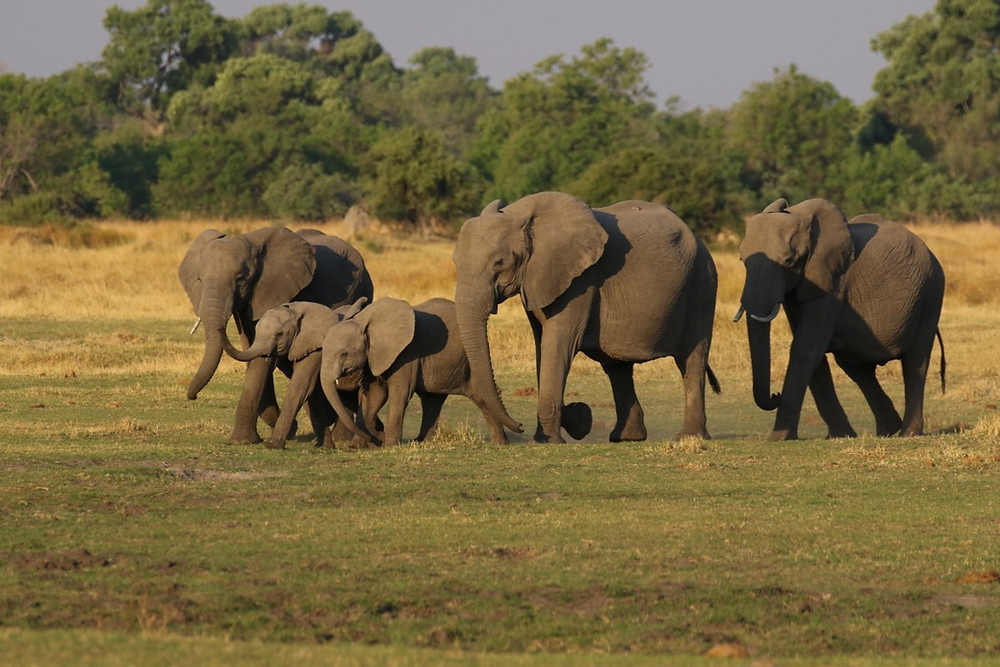 Family of 5 elephants walking to the left