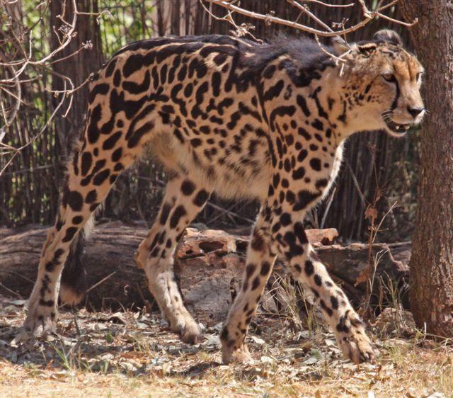 King Cheetah walking near some trees