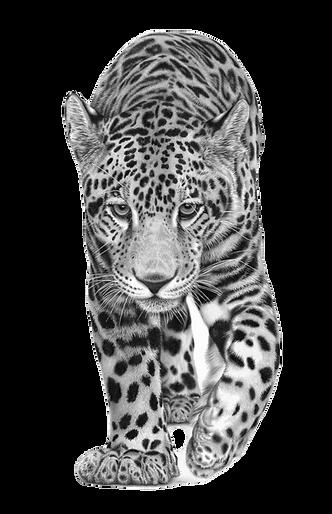 Young Jaguar-1_edited_edited.png