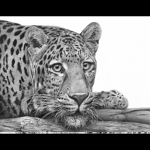 Alert, (Leopard drawing)