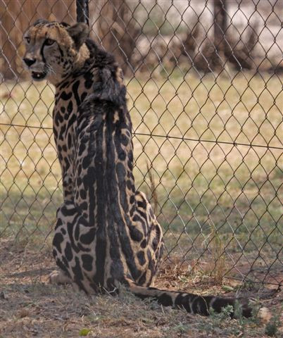 King Cheetah sitting and looking back over its shoulder