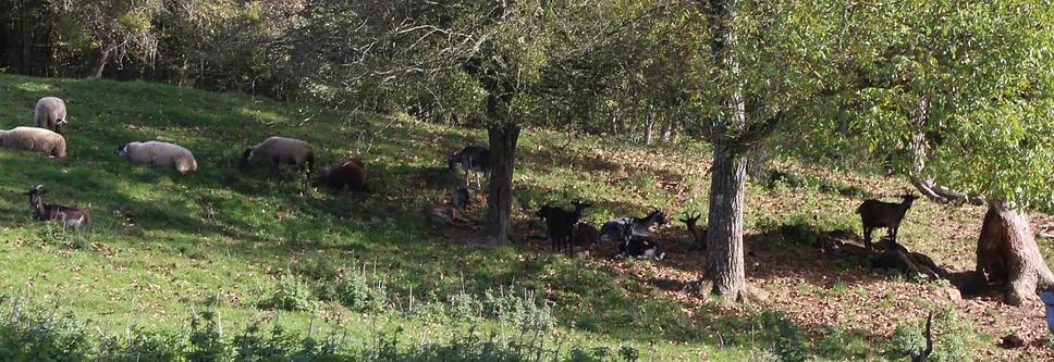 Chèvres.png