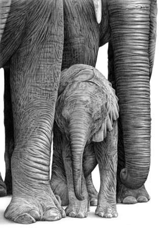 Drawing of a baby elephant standing between it's mother's legs