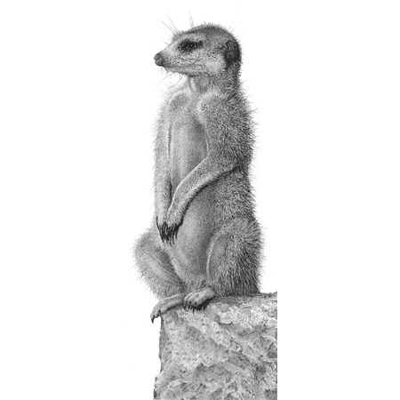 Pencil drawing of a meerkat standing on the lookout looking left