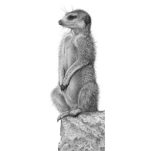 Meerkat standing on it's back legs looking to the right for danger