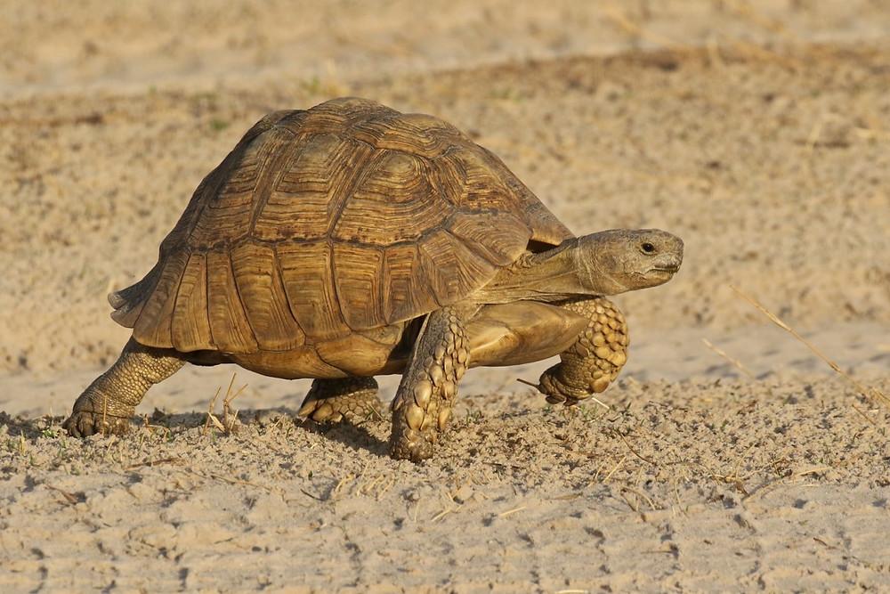 A Wild Tortoise walking along the sand