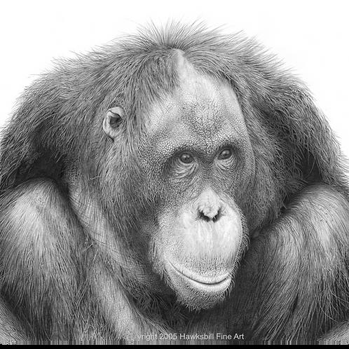 Portrait of a sitting female Orangutan