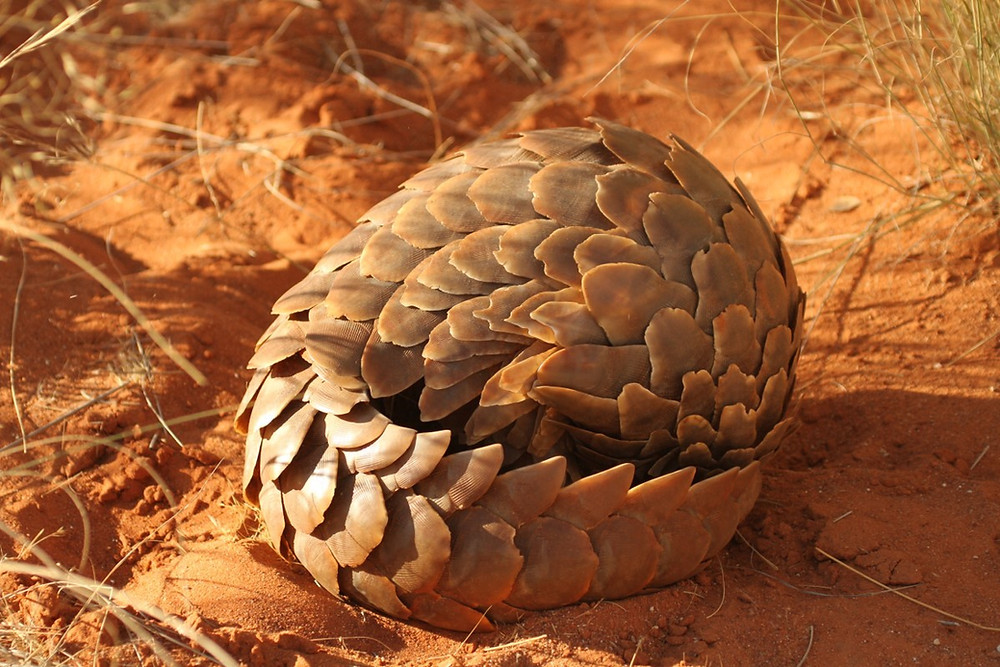 A pangolin curled up on the ground