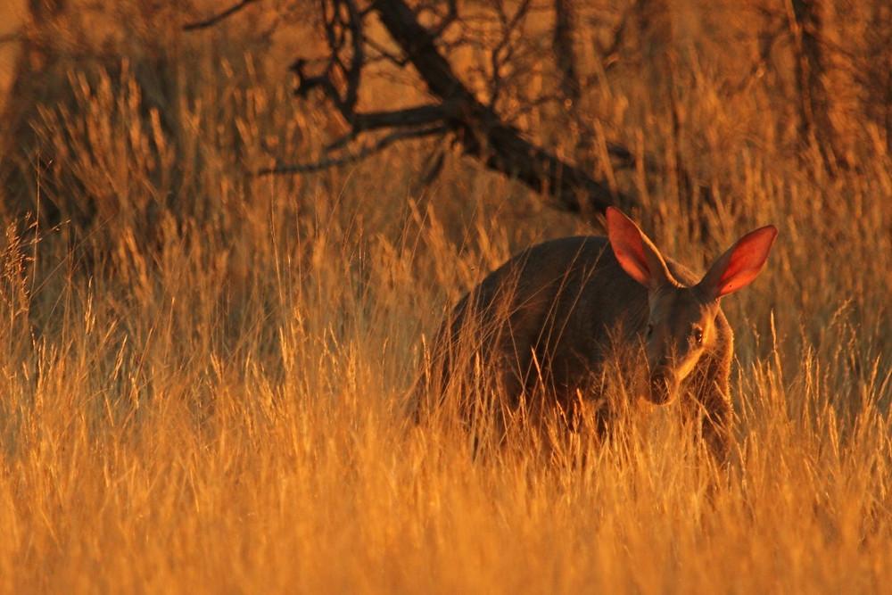 Aardvark in the long grass