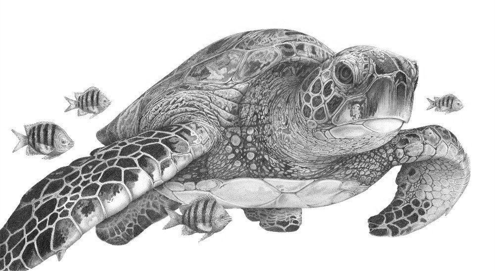 Pencil drawing of an adult Green Turtle swimming with Sargeant fish