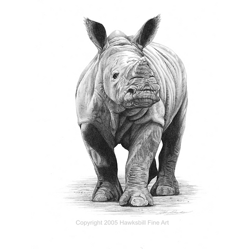 Young Rhino preparing to charge at the viewer