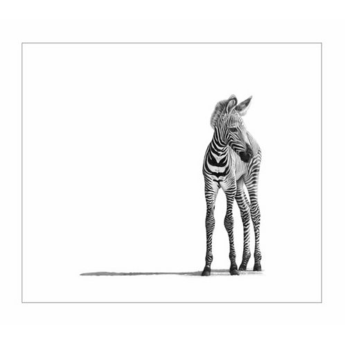 Portrait of a very young zebra standing alone on the right of the picture