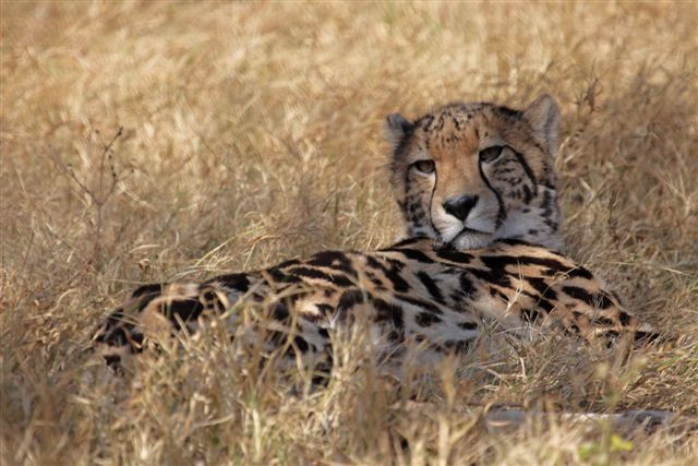 King Cheetah lying in grass and the shade