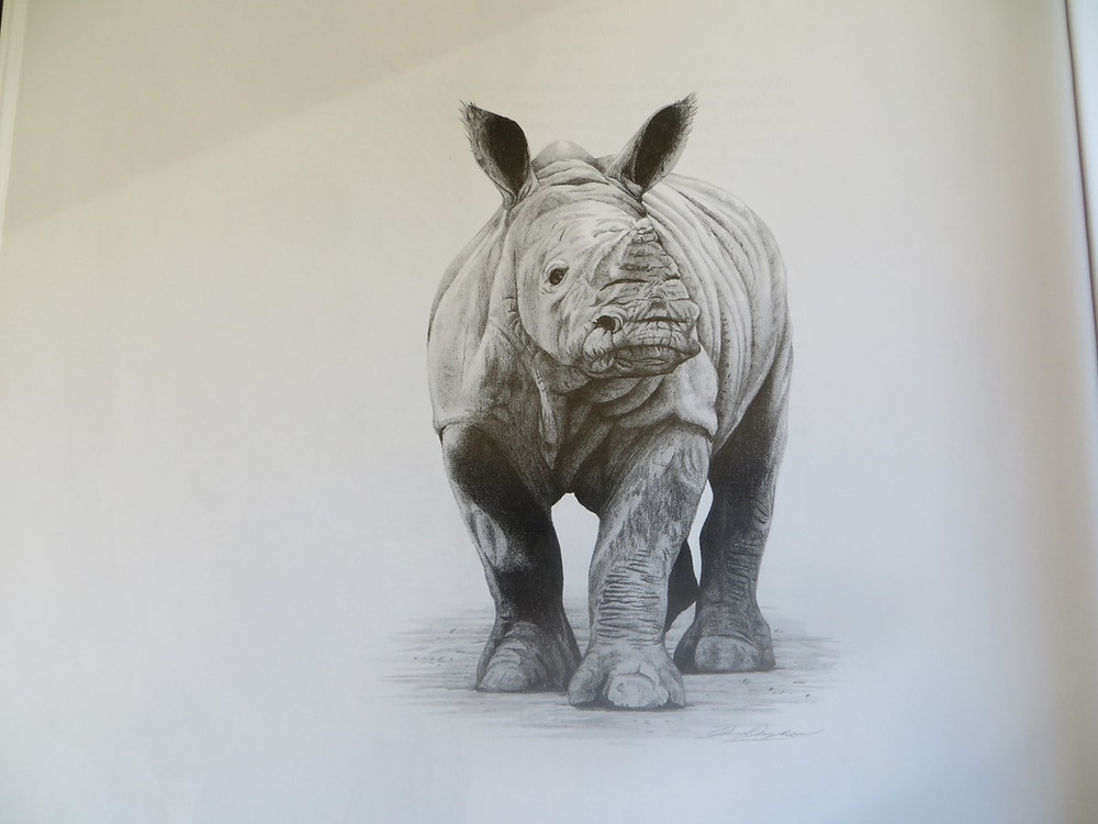 Drawing a  baby rhino walking towards the viewer
