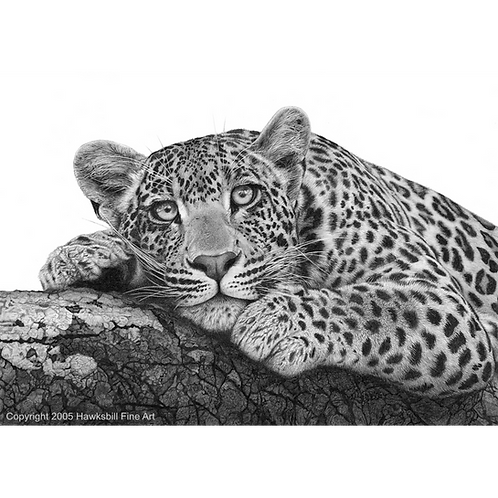 Portrait of a leopard lying on tree branch looking foward at the viewer