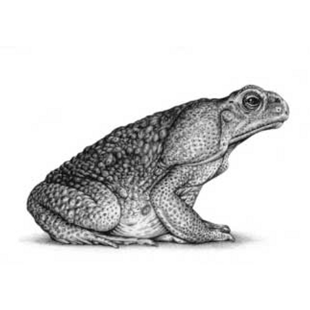 Marine toad, aka Cain toad, sat sideways looking to the right