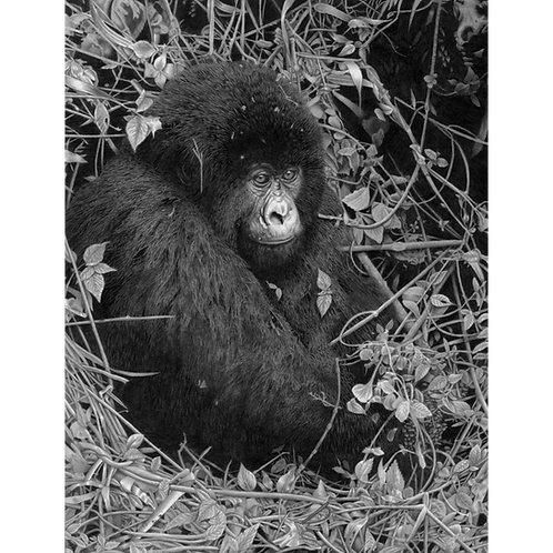 Young mountain Gorilla sitting surrounded by leaves and trees