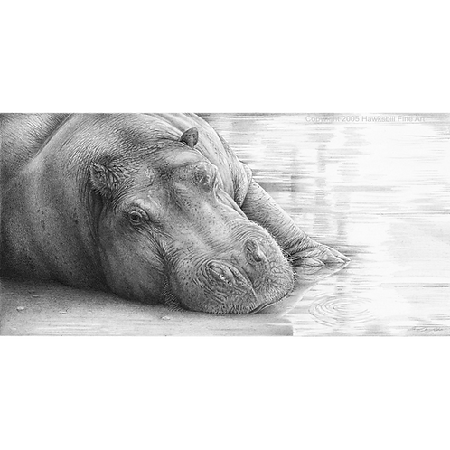 Close up head portrait of a Hippo laying a in pool of water
