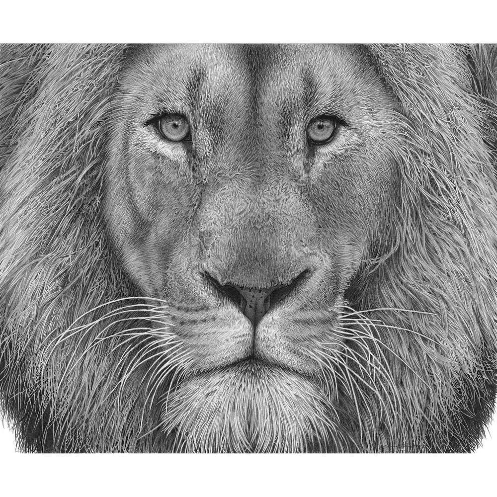 Close up drawing of a lion's head looking directly at the viewer
