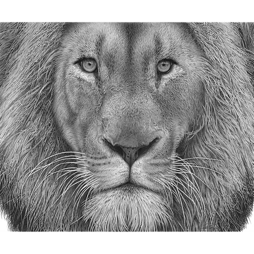 Male African Lion close up head portrait looking directly at the viewer