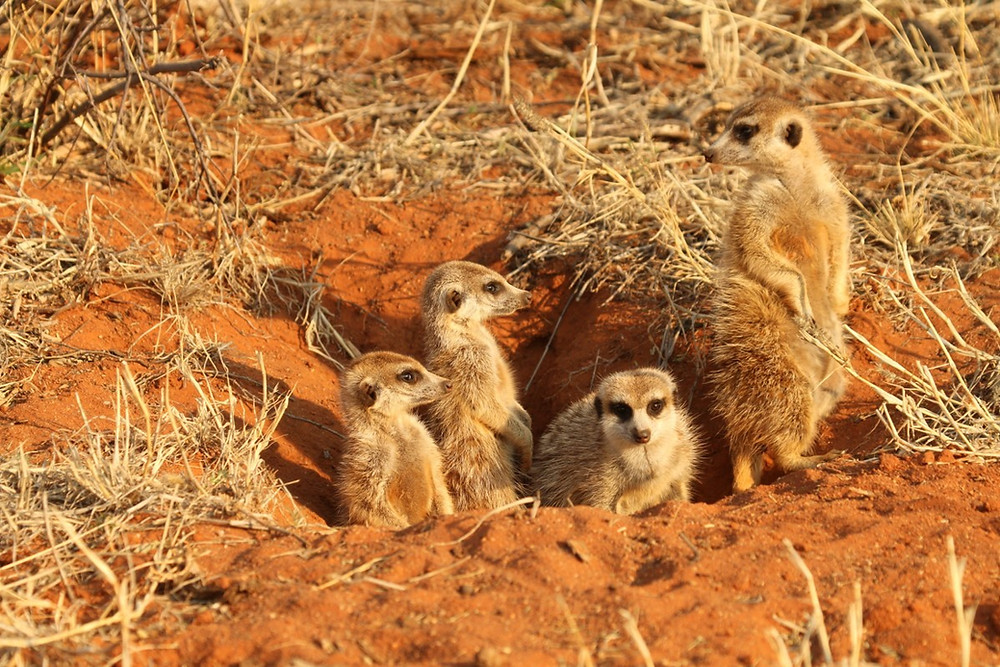 Four meerkats emerging from their den in the ground