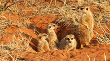 To photograph meerkats and aardvark you've first got to find them!