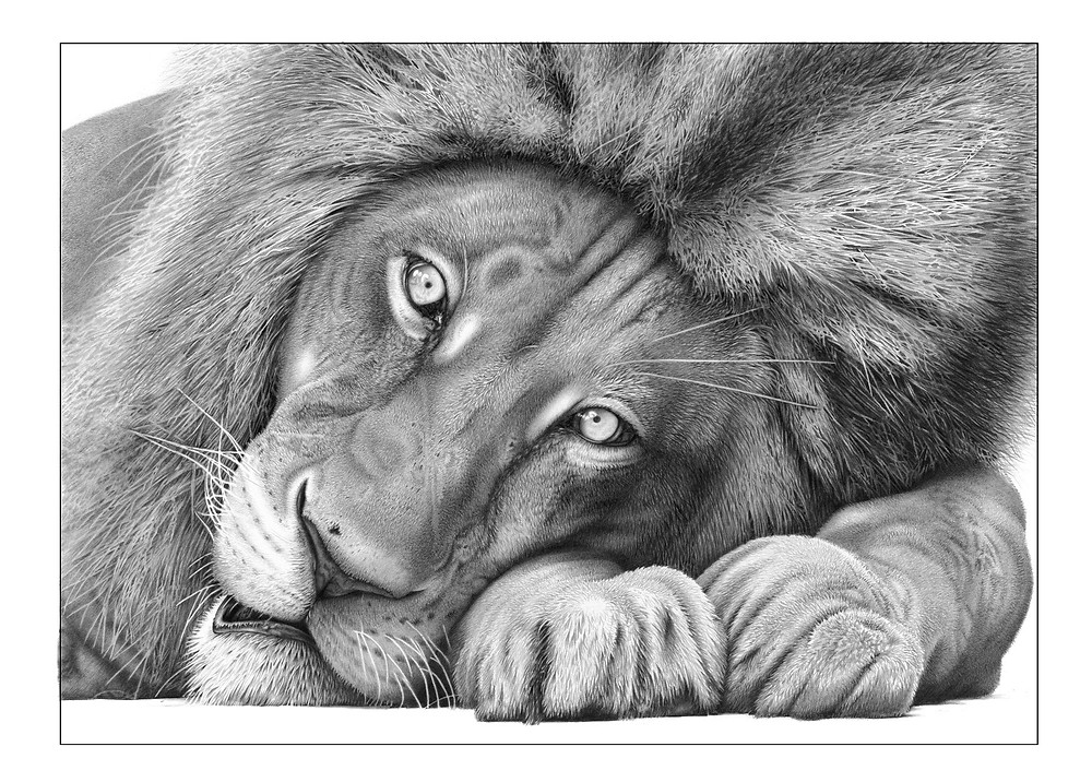 Drawing of a lion by David Dancey-Wood